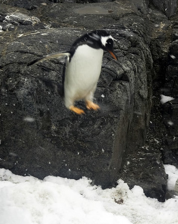 B-18 Leaping Gentoo Penguin